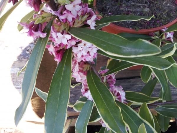 daphne-cneorum-una-planta-tan-bella-como-peligrosa-03