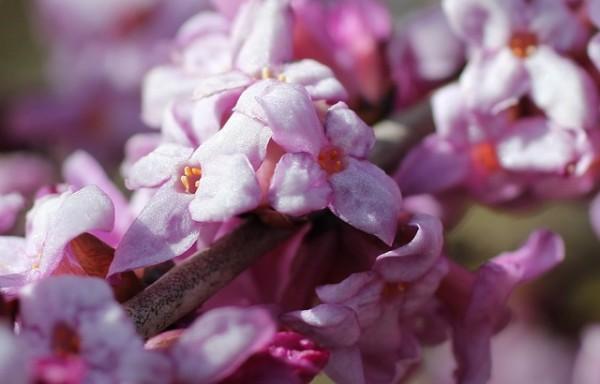 daphne-cneorum-una-planta-tan-bella-como-peligrosa-04
