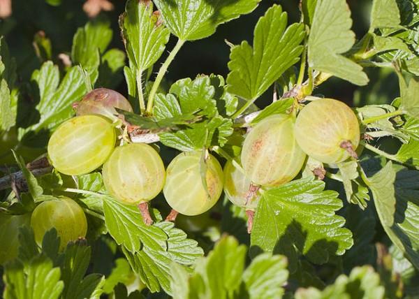 el-cultivo-de-la-grosella-espinosa-05