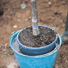 plantar-un-frutal-comprado-en-maceta-02