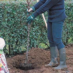 plantar-un-frutal-comprado-en-maceta-03