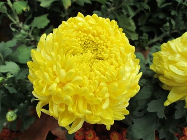 propiedades-terapeuticas-y-culinarias-del-crisantemo-01