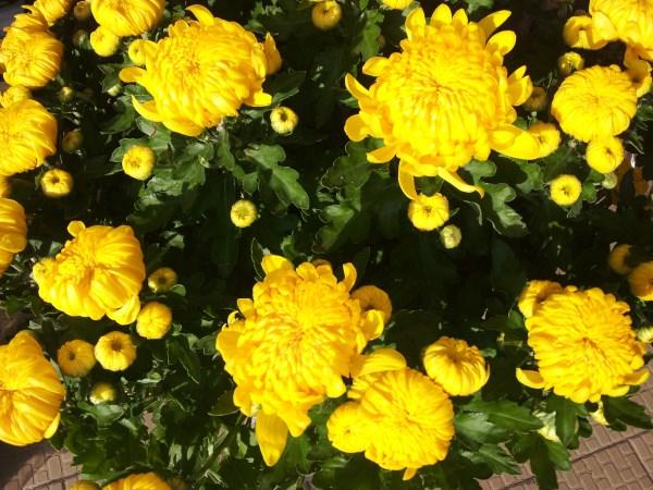 propiedades-terapeuticas-y-culinarias-del-crisantemo-06