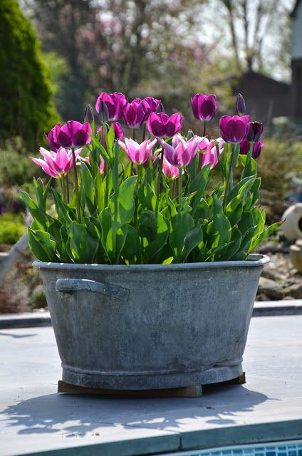cultivo tulipanes maceta