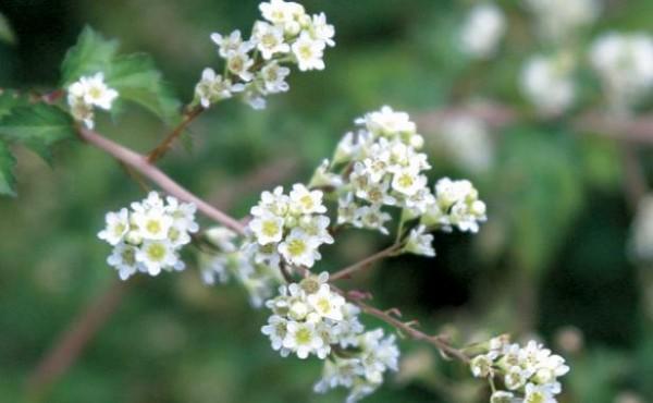 arbustos-para-jardines-con-pendiente-03