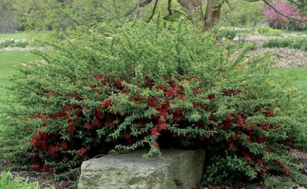 arbustos-para-jardines-con-pendiente-04