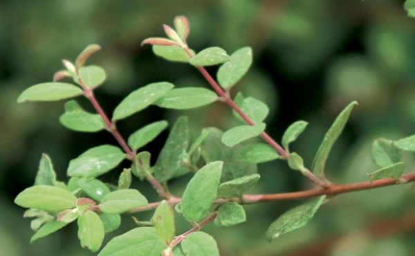 arbustos-para-jardines-con-pendiente-05