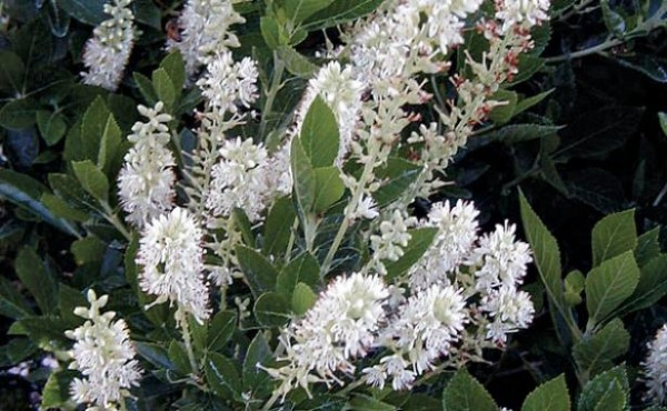 arbustos-para-jardines-con-pendiente-07