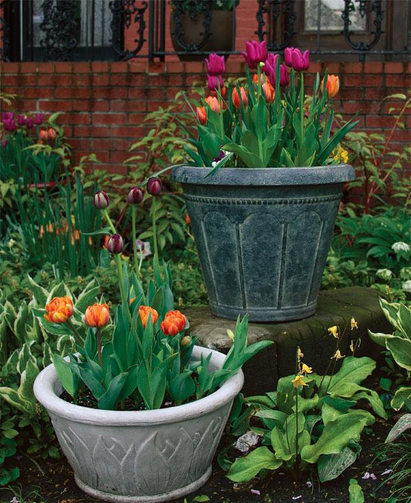 como-plantar-tulipanes-en-macetas-01