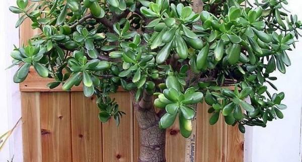 cultivo-y-cuidados-del-arbol-de-jade-01