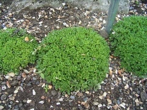 cultivo-y-cuidados-del-arbol-de-jade-02
