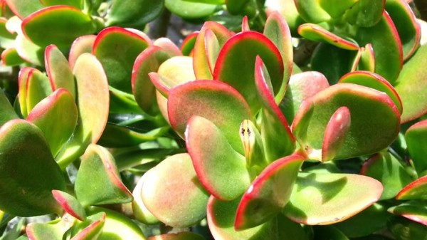 cultivo-y-cuidados-del-arbol-de-jade-03