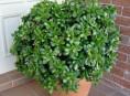 imagen Cultivo y cuidados del árbol de jade