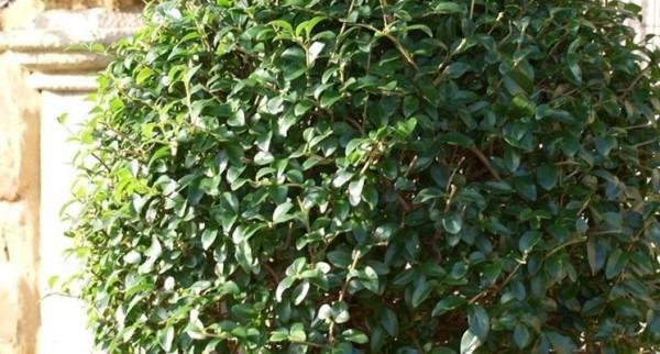 el-cultivo-del-aligustre-04