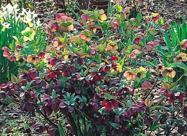 El hel boro una planta que florece en invierno - Plantas de invierno ...