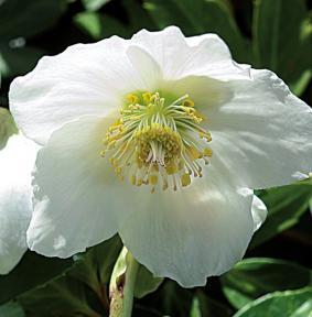 el-heleboro-una-planta-que-florece-en-invierno-02