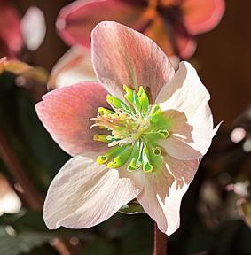 el-heleboro-una-planta-que-florece-en-invierno-03
