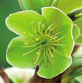 el-heleboro-una-planta-que-florece-en-invierno-04