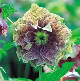 el-heleboro-una-planta-que-florece-en-invierno-07