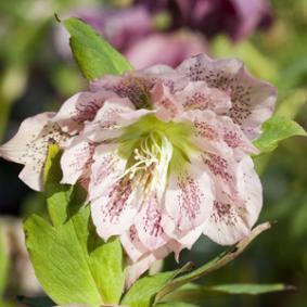 el-heleboro-una-planta-que-florece-en-invierno-08