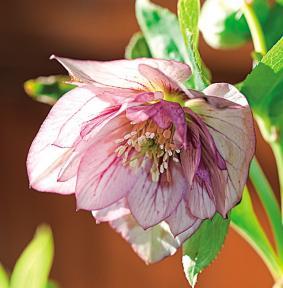 el-heleboro-una-planta-que-florece-en-invierno-09