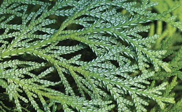introducir-coniferas-enanas-en-tu-jardin-01