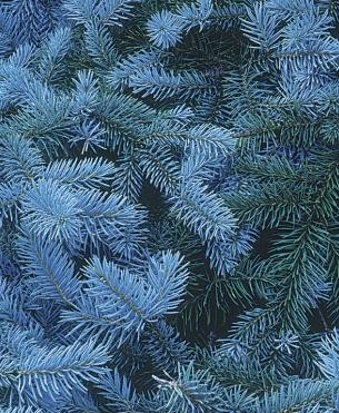 introducir-coniferas-enanas-en-tu-jardin-02