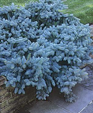 Introducir con feras enanas en tu jard n for Coniferas de jardin