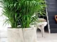 imagen Cultivar palmeras de interior