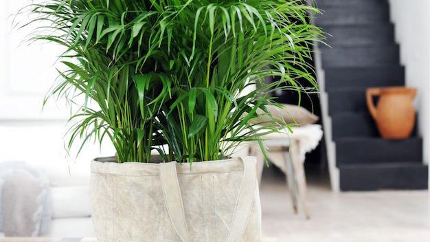 Cultivar palmeras de interior for Palmeras de interior