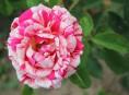 imagen 8 variedades de rosas asombrosas e inusuales