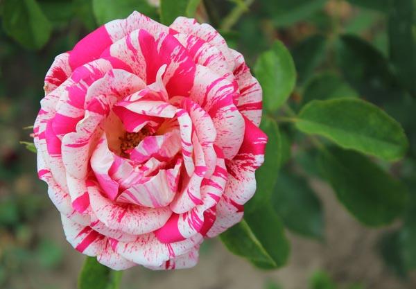 8-asombrosas-y-originales-rosas-01
