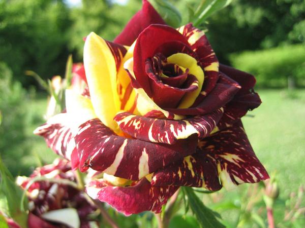 8-asombrosas-y-originales-rosas-02
