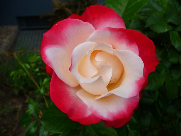 8-asombrosas-y-originales-rosas-04