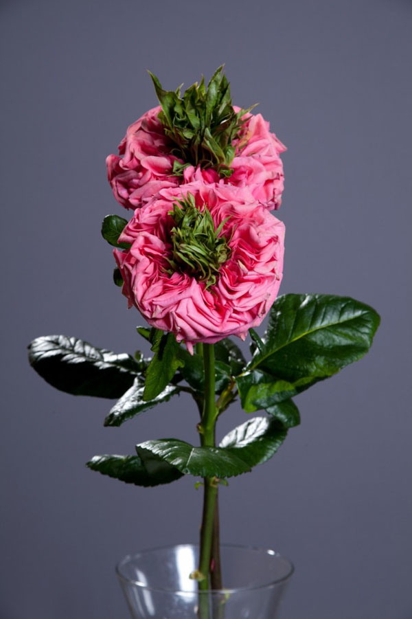 8-asombrosas-y-originales-rosas-05