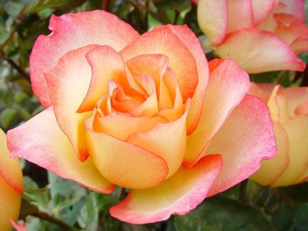 8-asombrosas-y-originales-rosas-06