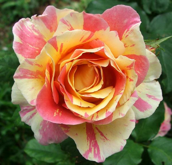 8-asombrosas-y-originales-rosas-08