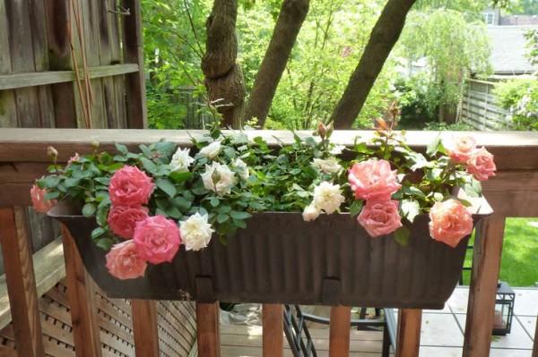 cómo cultivar rosas en maceta