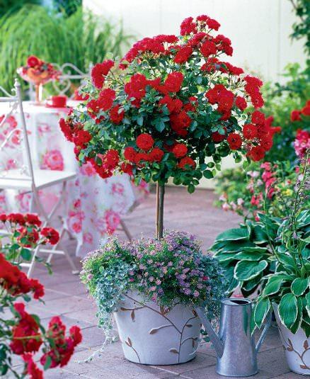como-cultivar-rosas-en-maceta-03