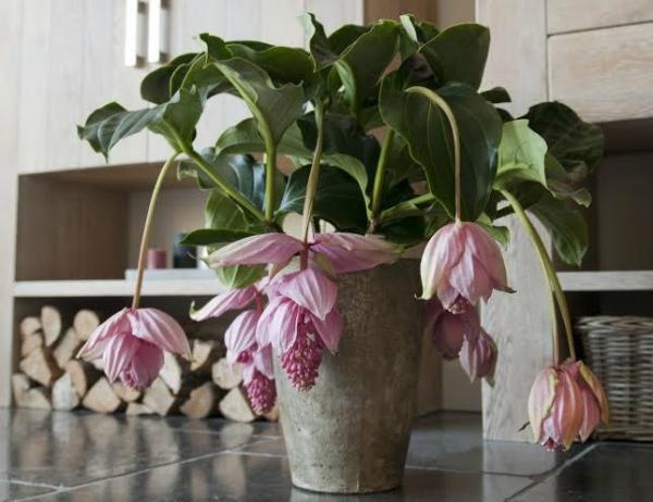 flores ex ticas para cultivo en interior