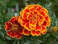 imagen Las 10 mejores plantas compañeras para tus tomates
