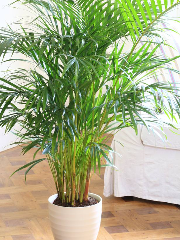 Las 17 mejores plantas de interior - Plantas de interior palmeras ...