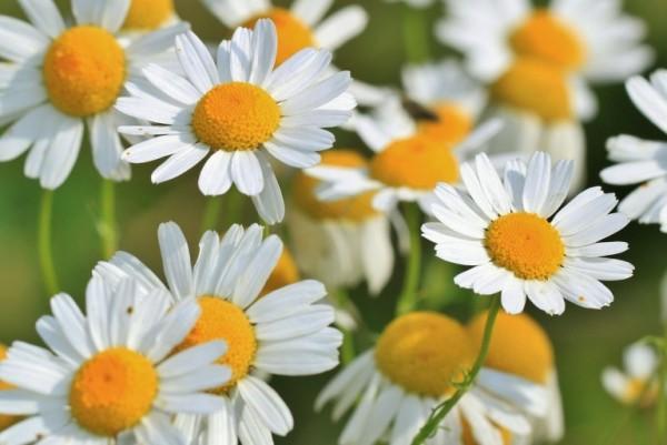 5-bellas-flores-que-pueden-cuidar-tu-piel-05