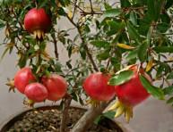 imagen Cultivo del granado en maceta