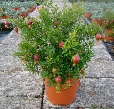 Cultivo del granado en maceta for Arbol granada de jardin