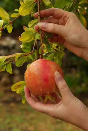 cultivo-del-granado-en-maceta-03