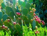 imagen Cultivo y cuidados del nopal