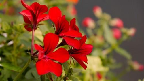 las-mejores-flores-para-el-balcon-03