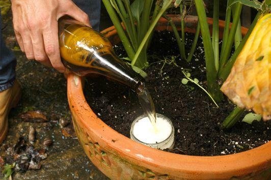Mini tip 2 eliminar babosas y evitar que da en tus plantas for Caracol de jardin alimentacion