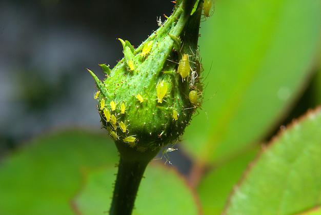 mini tip 3 elimina pulgones de forma pr ctica y ecol gica